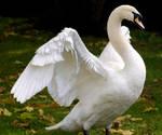 swan spreading wings 4