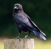 crow by LubelleCreativeSpark