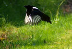 magpie flying stock