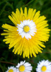 daisies and dandelions.
