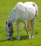 white Pony stk 4