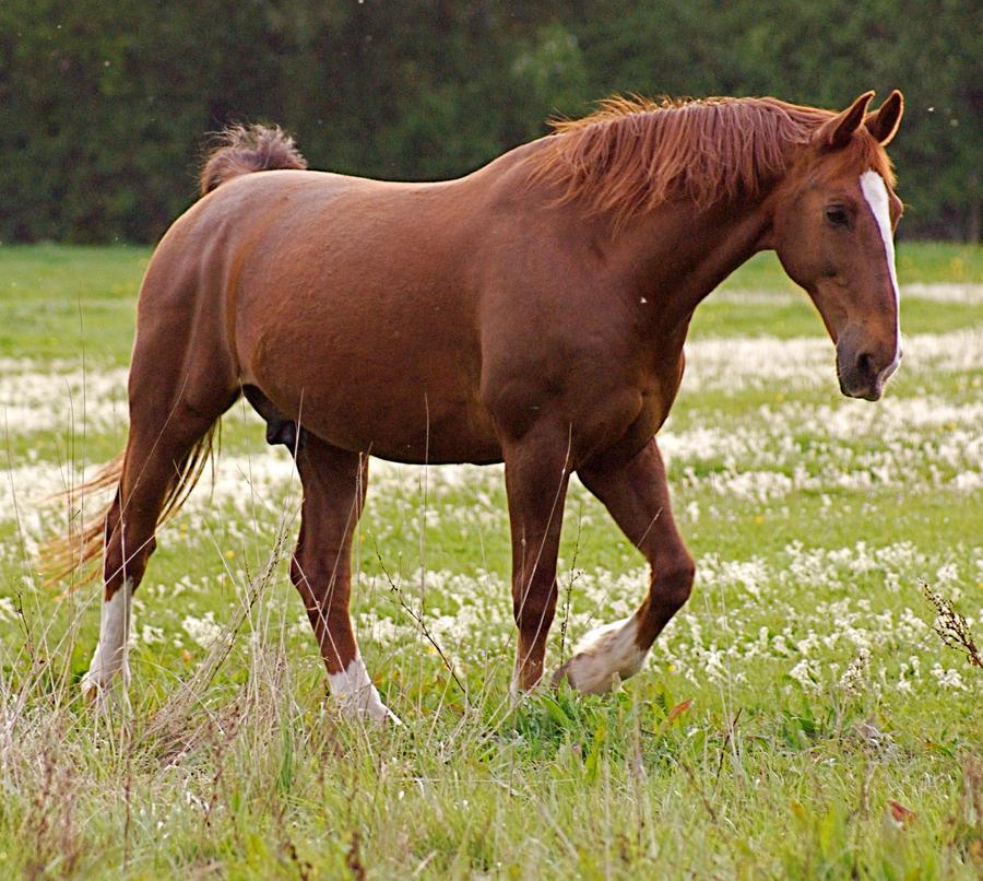 chestnut horse standing 2 by LubelleCreativeSpark on ... - photo#10