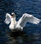 swan stretching wings stk.