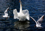 swan stretching wings stk 4