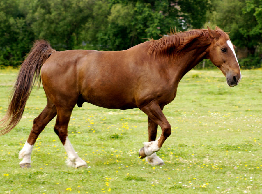 Chestnut Horse - photo#34