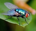 iridescent fly