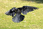 crow flying stock.