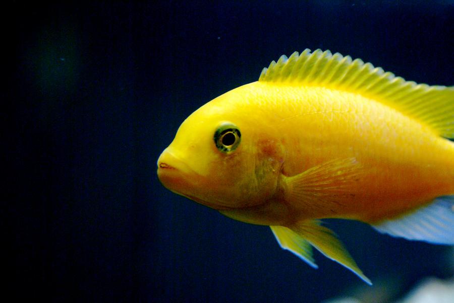 Image gallery malawi fish for Lake malawi fish