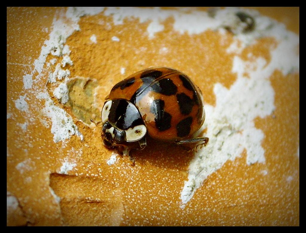 ladybug by D-u-D