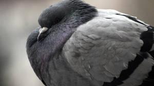 pigeon by EmilyEatworlD