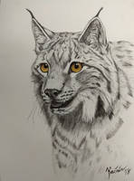 Lynx by Dandy58
