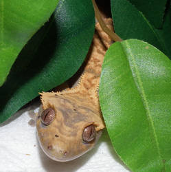 El Dorado the Gecko by dragonslorefury