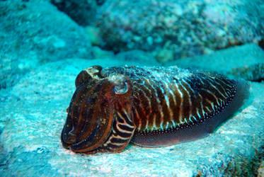 Cuttlefish against Blue by MissSparkle1
