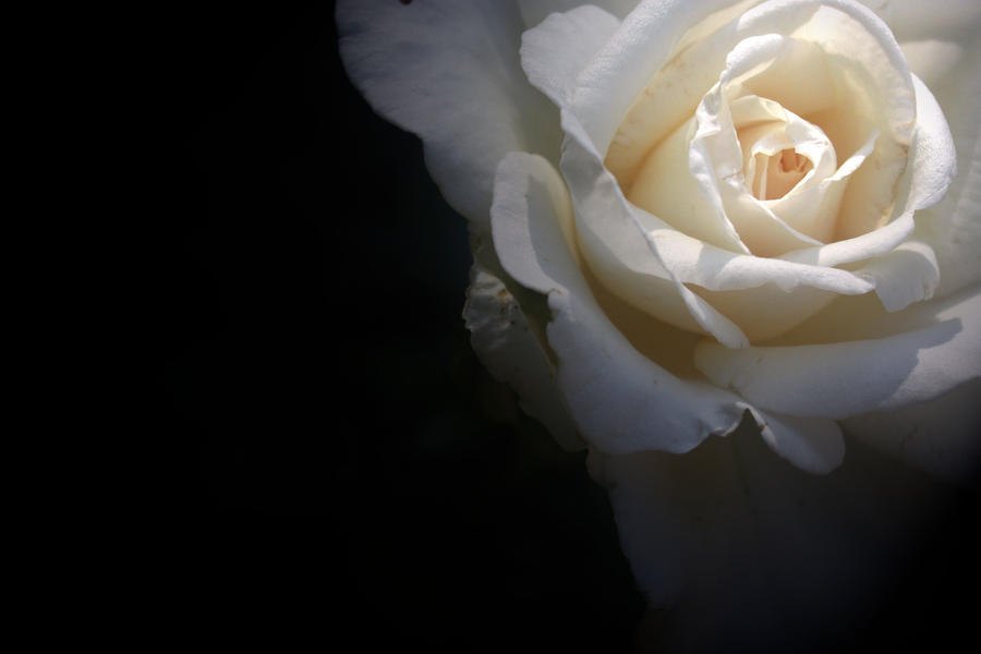 A Single White Rose by mindlesspuppettoy on DeviantArt