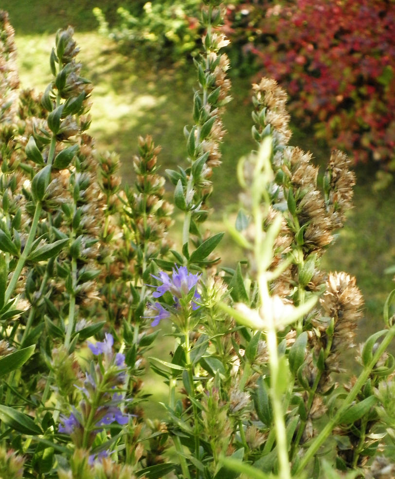 Blossing hyssop by Sarasai