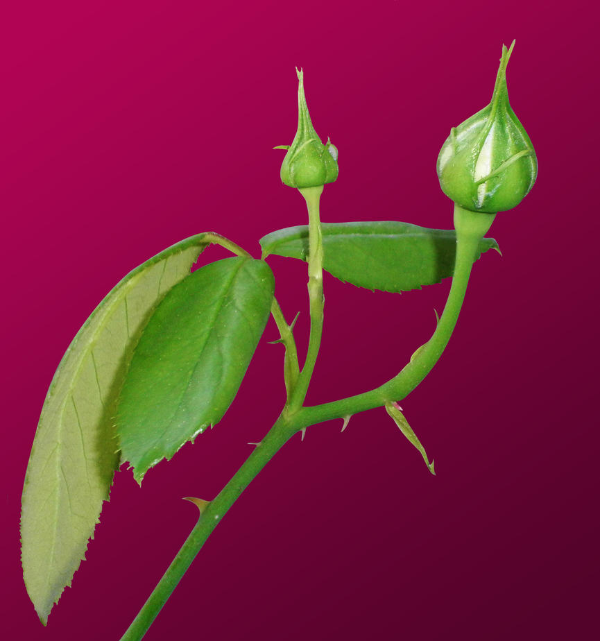 Rose bud by Sarasai