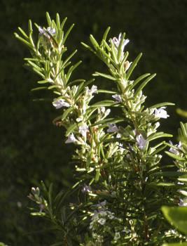 Blossing Rosemary
