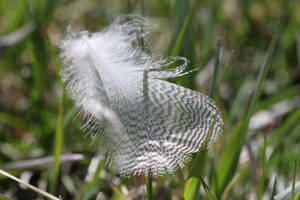 Horned Owl feather