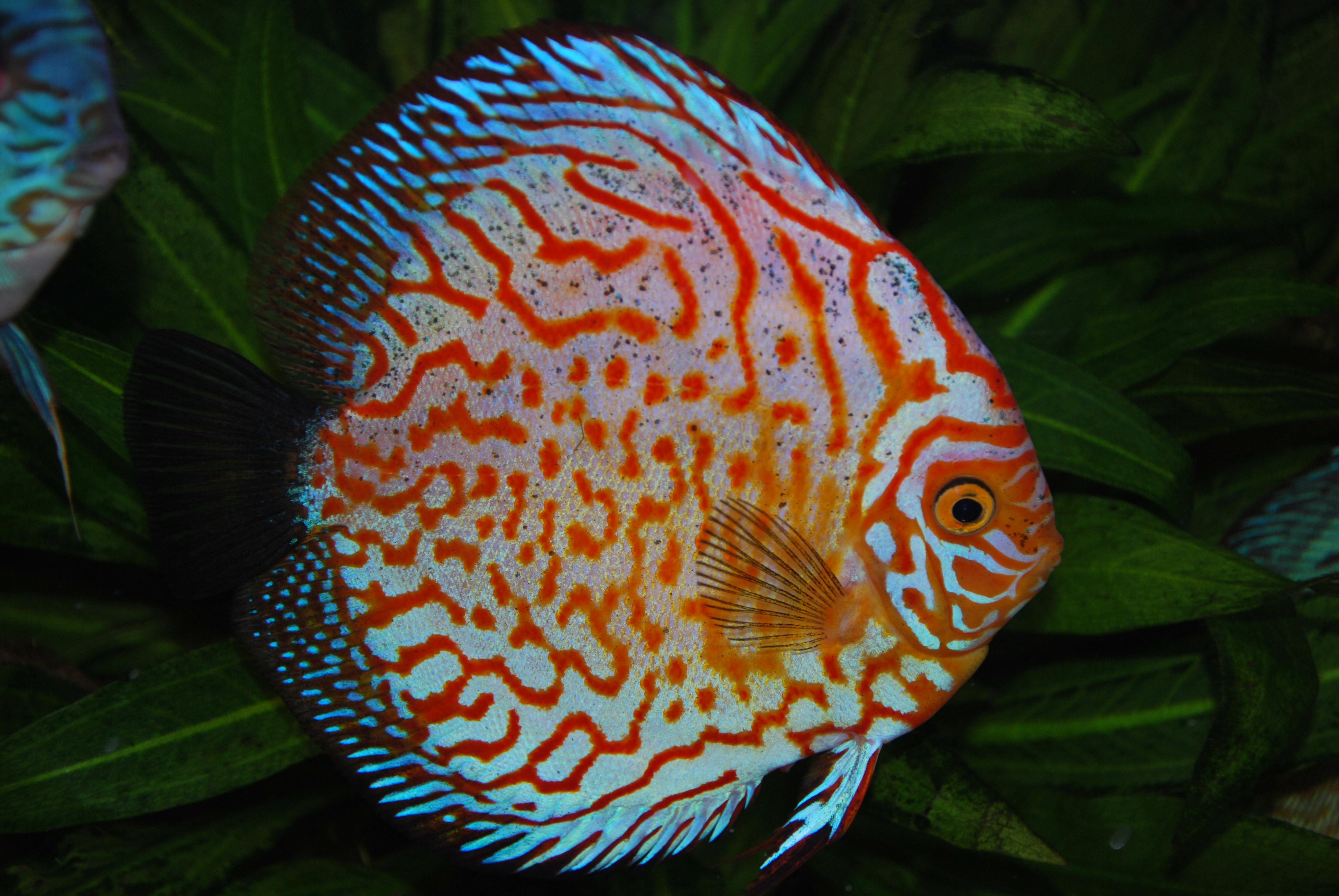 Discus Fish My discus fish by skippypiet