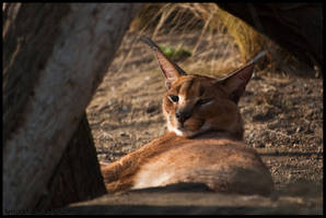 Caracal by amrodel