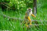 Squirrel Monkey II