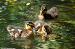 Ducklings by amrodel
