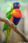Rainbow Lorikeet by amrodel