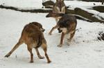 Fight In Wolf Pack II