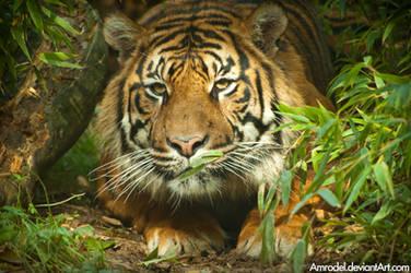 Dua the Sumatran Tiger by amrodel
