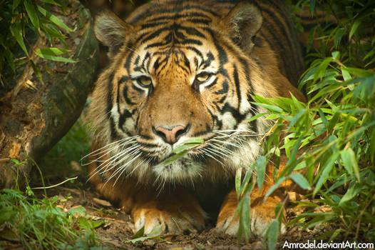 Dua the Sumatran Tiger