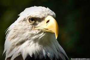 Bald Eagle Close-Up by amrodel