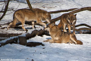 Life in Wolf Pack by amrodel