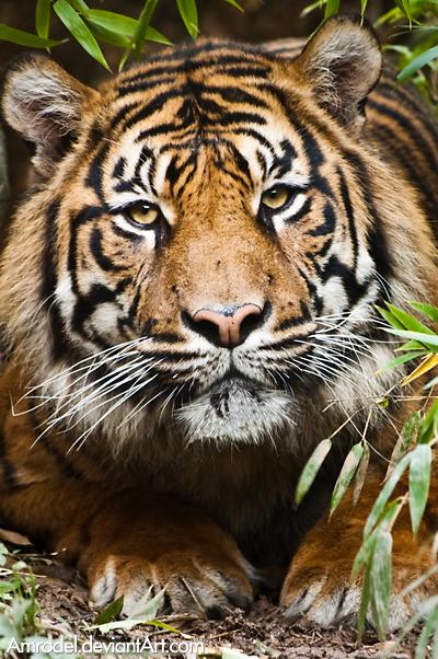 Sumatran Tiger by amrodel