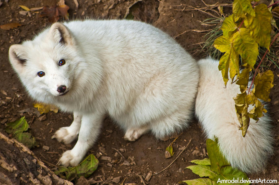 Arctic Fox II by amrodel
