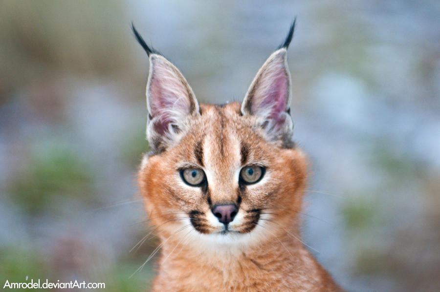 African Cats With Big Ears