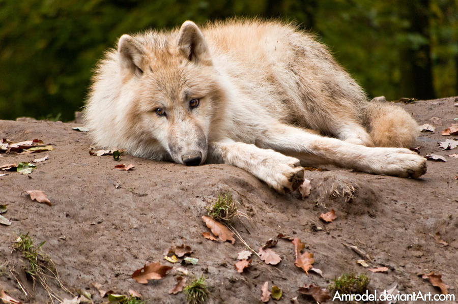 Jessica K. Howl Tired_Arctic_Wolf_Cub_by_amrodel