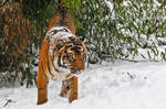 Little Tiger on Snow