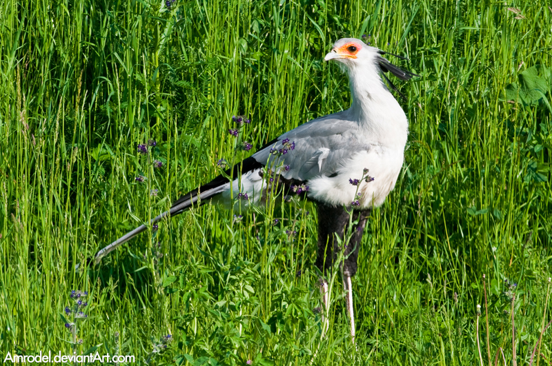 Secretary Bird by amrodel