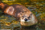 Otter in the Water