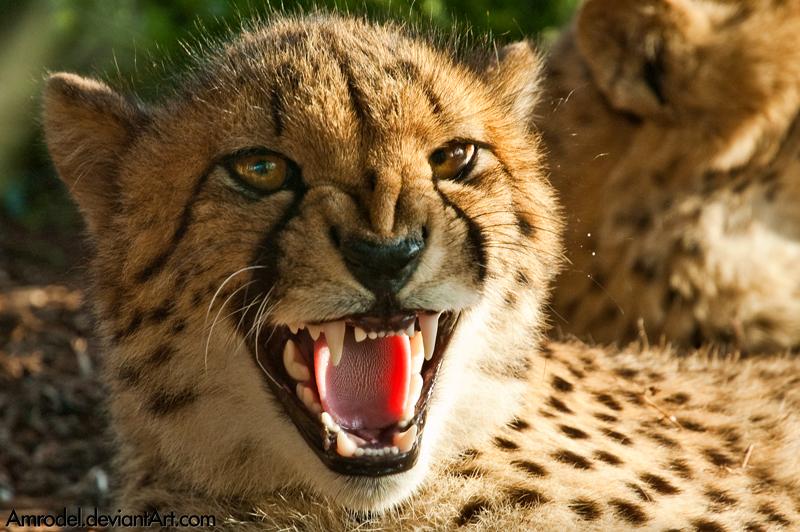 mean cheetah Gallery
