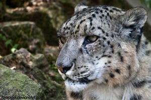 Snow Leopard: Pensive by amrodel