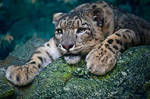 Snow Leopard: Tired Mother