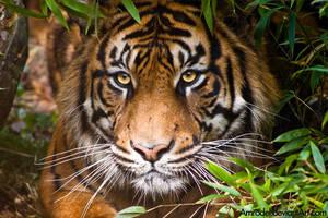 Sumatran Tiger II by amrodel