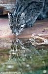 Fishing Cat II