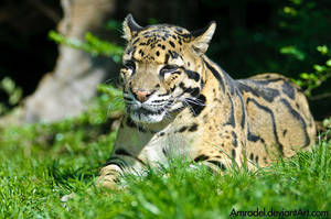 Clouded Leopard by amrodel