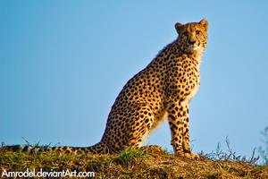 Cheetah by amrodel