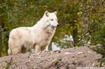 Arctic Wolf III
