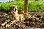 Sleepy Cheetah