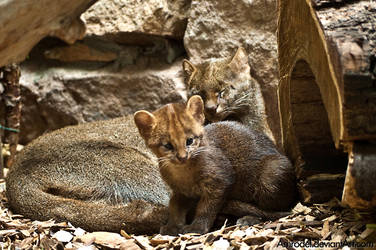 Jaguarundi Cub and its Mother by amrodel