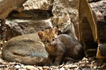 Jaguarundi Cub and its Mother